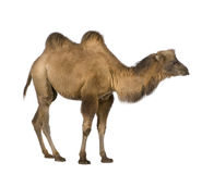 Dromedary. In front of a white background Stock Images