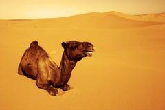 Dromedary. ( Camelus Dromedarius ) at Erg Chebi, Sahara Desert, Morocco, Africa Royalty Free Stock Photo