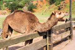Dromedary Royalty Free Stock Photo