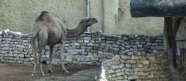 Dromedary. Also called the Arabian camel Camelus dromedarius royalty free stock images