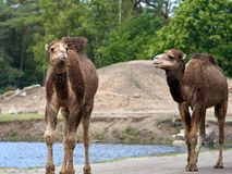 Two dromedary walking by water royalty free stock photography