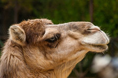 Dromedary. The dromedary, also called the Arabian camel or the Indian camel (Camelus dromedarius), is a large, even-toed ungulate with one hump on its back Royalty Free Stock Photo