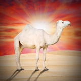 The Dromedary. Stock Images