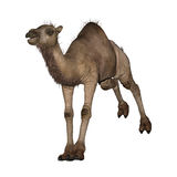 Dromedary or Arabian Camel Royalty Free Stock Photography