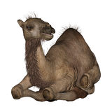 Dromedary or Arabian Camel Stock Images
