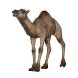 Dromedary or Arabian Camel Royalty Free Stock Images