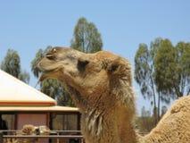 Dromedary or Arabian camel Stock Photography