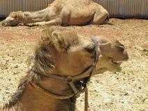 Dromedary or Arabian camel Royalty Free Stock Photography