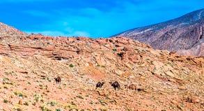 Dromedary in the Atlas mountain of Morocco stock photos