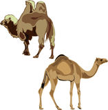 Dromedary and Bactrian camel. Stock Photo