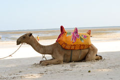 Dromedary on the beach for walks Royalty Free Stock Images