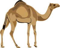 Dromedary camel Stock Photos