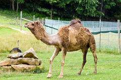 Dromedary Camel. Adult Dromedary camel walking in a large zoo enclosure. Ostrich sitting behind rocks Stock Photography