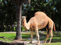 Dromedary camel. In a South Florida zoo.  Wild dromedaries are now extinct, being domesticated by man Royalty Free Stock Photo