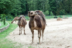 The dromedary camel Royalty Free Stock Photo