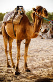 Dromedary camel Stock Images