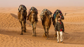 Dromedary camel. Arrieve at an oasis Stock Photography