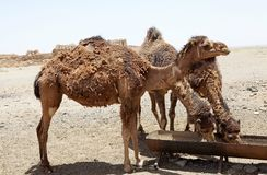 Dromedary camel (Camelus dromedarius) Royalty Free Stock Photo
