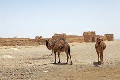 Dromedary camel (Camelus dromedarius) Royalty Free Stock Photography