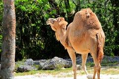 Dromedary camel (Camelus dromedarius) Stock Photos