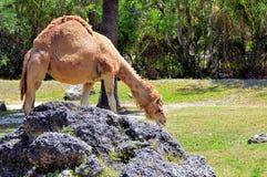 Dromedary camel (Camelus dromedarius) in zoo Royalty Free Stock Photo