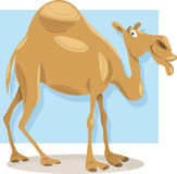Dromedary camel cartoon illustration Stock Image