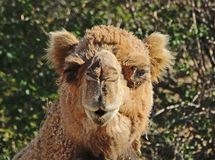 Camel. Dromedary camel close up portrait looking at viewer Stock Images