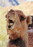 Camel. Dromedary camel close up portrait showing teeth Stock Photography