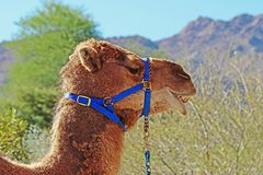 Camel. Dromedary camel close up profile portrait with harness Royalty Free Stock Images