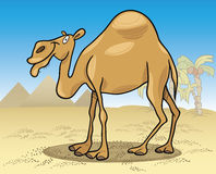 Dromedary camel on desert Stock Photography