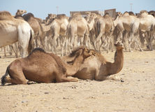 Dromedary camel and goat at a market Royalty Free Stock Image