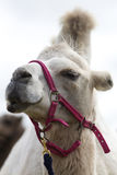 Dromedary camel head Royalty Free Stock Photo