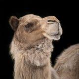 Dromedary Camel II Stock Images