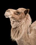 Dromedary Camel III Stock Images