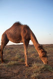 Dromedary camel in Iran. Dromedary camel, or one-humped camel, at the Maranjab Desert during sunrise in Esfashan, Iran Stock Images