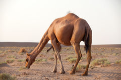Dromedary camel in Iran. Dromedary camel, or one-humped camel, at the Maranjab Desert during sunrise in Esfashan, Iran Stock Image