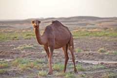 Dromedary camel in Iran. Dromedary camel, or one-humped camel, at the Maranjab Desert during sunrise in Esfashan, Iran Stock Photos