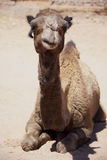 Dromedary (camel) laying on desert ground. Royalty Free Stock Photography