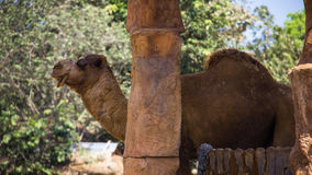 Dromedary camel. Live in open zoo, Thailand Royalty Free Stock Image