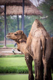 Dromedary camel. Live in open zoo, Thailand Stock Photography