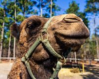 A dromedary camel looks at the camera in an enclosure in an exotic wildlife rescue and rehabilitation zoo. royalty free stock photography