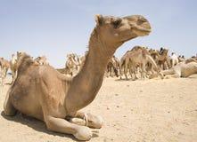 Dromedary camel at a market Royalty Free Stock Image