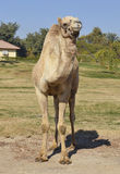 Dromedary camel in a park Stock Image
