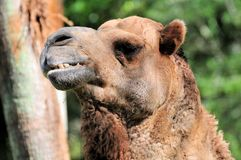 Dromedary camel portrait Stock Images