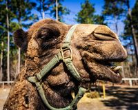 A dromedary camel poses for the camera at a wildlife rescue zoo. stock photo