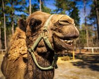 A dromedary camel seems to laugh for the camera at a wildlife rescue zoo. royalty free stock photo