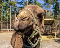 A dromedary camel poses for the camera at a wildlife rescue zoo. royalty free stock photo