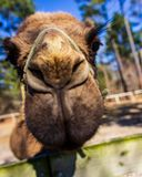 A dromedary camel poses for the camera at a wildlife rescue zoo. stock images