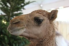 Dromedary Camel's profile. Dromedary Camel's face-sideview/profile Stock Images