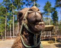 A dromedary camel smiles for the camera at a wildlife rescue zoo. royalty free stock images